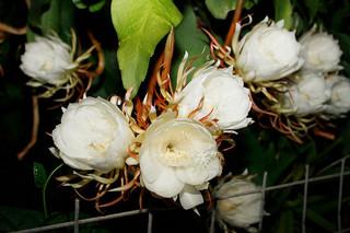 甘い香りを漂わせ、白い大輪の花を咲かせた月下美人=9日午後11時ごろ、石垣市新川仲間昭範さん宅