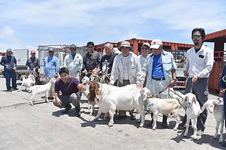 在来種ヤギの改良と優良な雌ヤギの増頭を目指して石垣市山羊生産組合に貸与された本島からの優良繁殖ヤギ=13日午後、石垣港