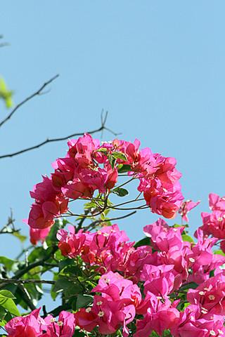 沖縄地方が22日、梅雨明けした。朝から晴れ間が広がり咲き誇るブーゲンビリアの花も青空に映えた=22日午後、石垣市登野城
