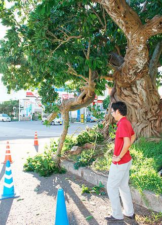枝が腐食し折れた三番アコウ。一時、道路の片側をふさいだ=5日午後、登野城