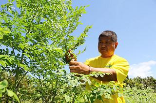 15人の農家らが栽培しているモリンガ=15日午前、伊原間の根間建有さんのほ場