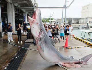 一本釣り研究会のサメ駆除で仕留められた480㌔のイタチザメ=8日午後、八重山漁協