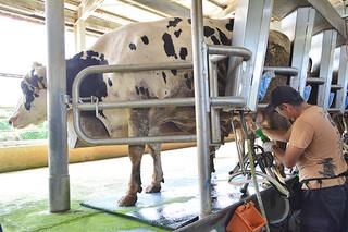 危機に陥っている八重山の乳業界。値上げも検討している。写真は㈱マリヤ乳業の牧場で搾乳している様子=10日午後、同牧場