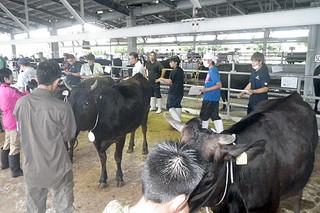 出品された牛を評価する審査員ら=2日、黒島家畜セリ市場