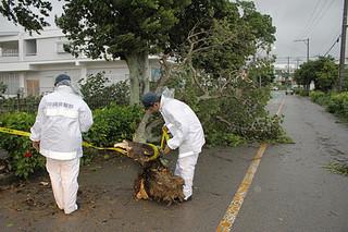 台風18号の強風で倒れた街路樹、警察官が規制線を張り対応した=13日夕、石垣市大川