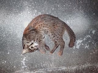 9月22日午後8時半ごろに県道215号線で死んでいるのが見つかった国指定特別天然記念物のイリオモテヤマネコ(西表野生生物保護センター提供)