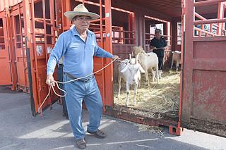県の導入事業で本島から到着した優良種ヤギを引く石垣市山羊生産組合の宮國文雄組合長(左)=10日午前、石垣港