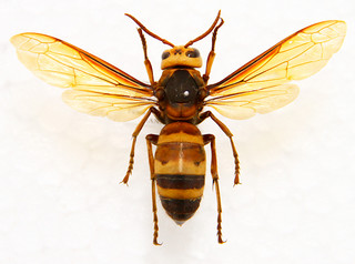 石垣島にも生息し、攻撃性が高いヒメスズメバチ