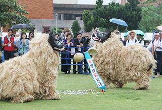 石垣島まつりの幕開けを飾る大川字会旗頭・棒・獅子保存会。くす玉を割り、石垣市制70周年を祝った=4日午後、新栄公園