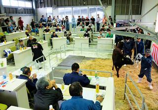 1月セリで平均77万余りの高値でスタートした黒島家畜市場の子牛セリ。7月以降60万円台に落ち込み、年間平均は70万4593円となった=1月13日午前、黒島家畜市場