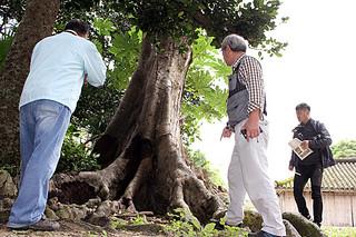 南根腐病の調査を行う研究者ら。中央の樹木クワノハエノキは同病に罹患し、根元が腐っている=8日午前、宮鳥御嶽