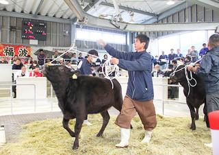 県内トップを切ってスタートした黒島での子牛初セリ=13日午前、黒島家畜市場