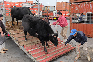 台湾出荷に向け、「美崎牛」をトラックから降ろす美崎畜産のスタッフら=16日午後、石垣港