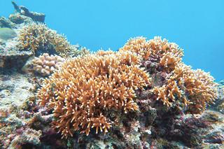 昨年12月に確認された夏の白化から回復した石西礁湖のサンゴ(環境省那覇自然環境事務所提供)