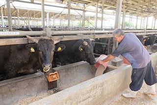 部会内で統一した飼料と飼育マニュアルで育てられる石垣牛=八重山肥育センター(資料写真)