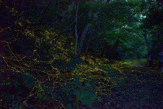 幻想的な光を放つヤエヤマヒメボタル=9日午後7時45分ごろ、西表島白浜(3分間露光)