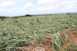 1億円余りの被害が確認されたサトウキビ。特に春植えで被害が大きかった=11日午前、石垣島北部