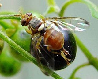 幼虫がナス科野菜を食害するナスミバエ(県提供)