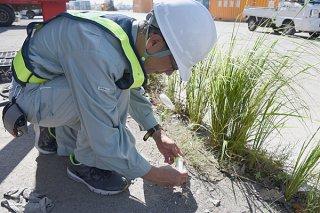 アリを誘引するトラップを設置してヒアリの目視調査を行う県環境科学センターの職員=25日午前、石垣港