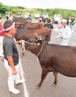 第13回黒島畜産共進会に出品された雌牛の栄養度などをチェックする審査員ら=4日午後、黒島家畜セリ市場