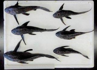 アメリカザリガニの調査中に捕獲された外来生物のマダラロリカリア(プレコ)=9月16日、名蔵ダム(八重山ネイチャーエージェンシー提供)