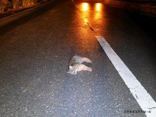 交通事故で死んだイリオモテヤマネコのオスの幼獣(西表野生生物保護センター提供)