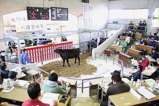 初セリで70万円の平均価格をつけた八重山家畜市場の子牛セリ。年間では68万円台となった=2018年1月13日午後、八重山家畜市場