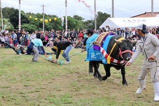 名物の牛との綱引き。牛に引っ張られながらも、まつりを楽しむ参加者たち=24日午後、黒島多目的広場