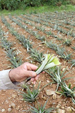 イノシシに食べられた苗の中心部分。広範囲で被害が確認された=9日午前、石垣市嵩田地区