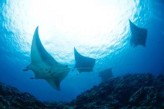 19年連続で国内ダイビングエリア1位になった石垣島。マンタとの遭遇率の高さが人気の秘密になっている=川平石崎(有限会社ぷしぃぬしま提供)