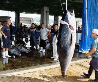 八重山漁協に水揚げされるクロマグロ。県全体の漁獲量が割当量に近づいており、今夕にも採捕停止の可能性がある=16日午前、荷さばき場