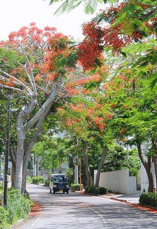 縄地方は16日に梅雨入りしたものの、晴れる日が多くなっている。石垣市内ではホウオウボクが鮮やかなオレンジ色の花を咲かせている=3日午前、石垣中学校東通り