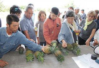サンプルのパインを手に収穫熟度基準を確認する生産農家ら=5日、JA磯辺集出荷場