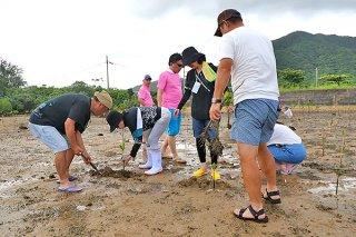 暑い中、干潟に穴を掘り1本ずつ丁寧に植え付ける会員ら=7日午後、名蔵湾