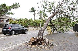 根元から倒れ歩道をふさぐ松の木。石垣市内では、学校や公道などで倒木が確認された=9日午後、石垣市川原