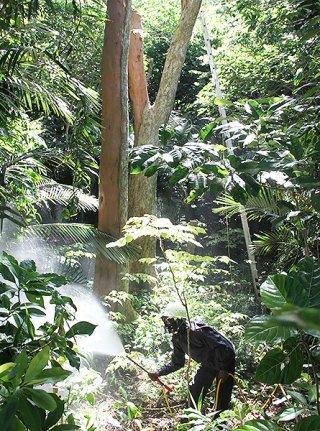ヤエヤマシタン固有の害虫「シタンヒメヨコバイ」を駆除するため薬剤を散布するスタッフ=8月30日午前、石垣市平久保