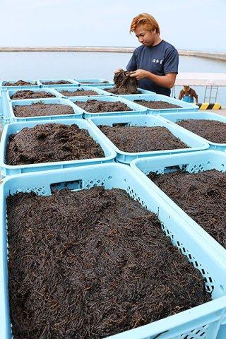 今期、暖冬の影響で不作となった養殖モズク(資料写真)