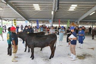 審査を受ける出品牛。5部門で入賞牛が決まった=22日午後、八重山家畜市場