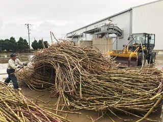 郡内糖業のトップを切り操業がスタートした西表糖業。続々と原料が搬入され、工場に活気があふれた=5日、同工場