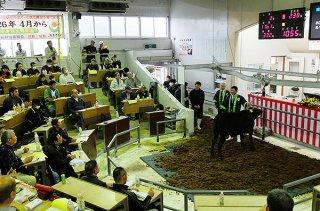 昨年の初セリで73万円の平均価格をつけた八重山家畜市場の子牛セリ。年間では71万円台となった(資料写真)