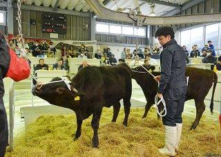 県内8市場で最初のセリとなった黒島家畜市場。平均価格は68万3742円だった=13日午前、黒島家畜市場