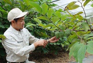 アテモヤの収穫を行う金城龍太郎さん。農園から300~400㍍先の陸自駐屯地造成現場からは重機音が聞こえてくる=1月31日午後、嵩田地区