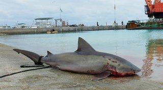 仕留められたオオメジロザメ。作業員によると、港内にはまだ2、3頭いるという=5日午後、登野城漁港