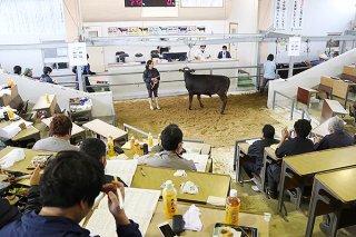 子牛の平均価格が前回比約10万円近く落ち込んだ3月セリ=11日午前、八重山家畜市場