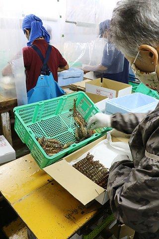 臨時便に間に合わせようと活車エビを急ピッチで詰め込む従業員ら=7日午前、㈲石垣エビ養殖