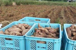 菓子の需要減に伴い減反が始まった沖夢紫。余ったイモの出荷先は決まっていない(資料写真)