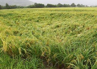 大雨の影響で一部倒伏した収穫前の水稲=9日午後、名蔵