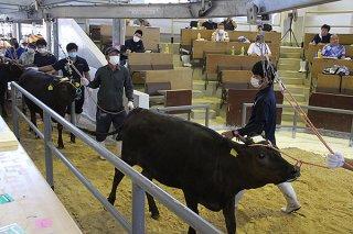 八重山家畜市場の6月セリ初日が開かれ、子牛平均価格が50万円を超えた=13日午後、同市場