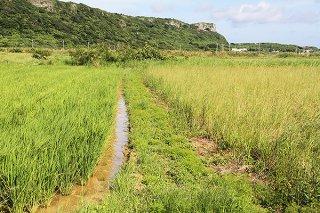 与那国町の水稲作が減少している。写真左は育成中の水田。右は耕作放棄地とみられる水田。田原川周辺には放棄地が多くみられる=17日午前
