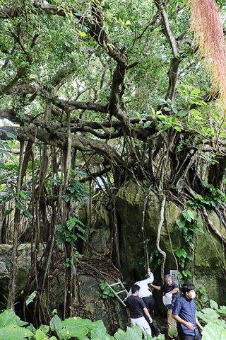 コーキ原のガジュマル群落とコーキ原石灰岩を視察する参加者ら=2日午前、小浜島